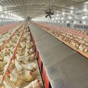 Светодиоды повысят яйценоскость кур