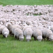 Производство шерсти и мяса.