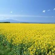Семена озимого рапса Опус (Чехия) фото