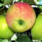 Яблоки осенние в Молдове фото