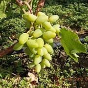 Саженцы винограда средних сортов, черенки винограда Венечный, саженцы винограда фото
