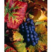 Сорт винограда Пино нуар Pinot Noir виноград фото