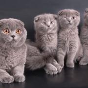Кошки шотландские вислоухие фото