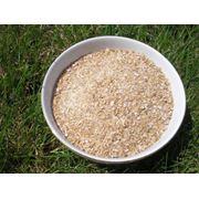 Пшеница проросшая фото