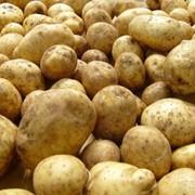Картофель ранний, продажа, Украина фото