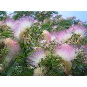 Акация шелковая (Albizzia julibrissun) фото