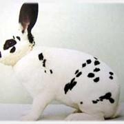 Калифорнийский кролик племенной фото