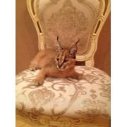 Котята каракала фото
