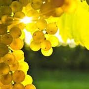 Виноград Шардоне (Chardonnay) фото