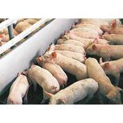 Клетки для свиней фото
