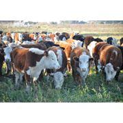 Мясные породы фото