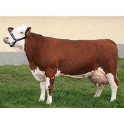 Коровы Корова-чемпионка симментальской породы фото