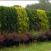 Живые изгороди фото