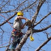 Спил сухих и аварийных веток и деревьев в Херсоне. Недорого. фото