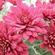 Саженец хризантемы фото