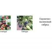 Саженцы ягодных кустарников фото