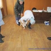 Лечение хронических заболеваний собак и кошек в стационаре фото