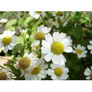 Растения лекарственные фото