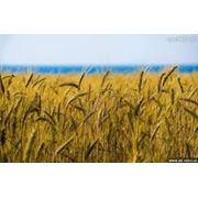 Сельское хозяйство является одной из самых важных отраслей народного хозяйства. Оно производит продукты питания для населения сырьё для перерабатывающей промышленности обеспечивает и другие нужды общества. фото