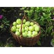 Производство яблок фото