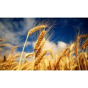 Пшеница обыкновенная в Молдове фото