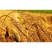 зерновые фото