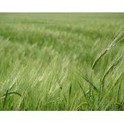 Пшеница третьего класса фото