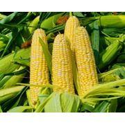 Кукуруза обыкновенная в Молдове фото