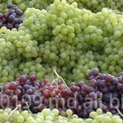 Виноград разных сортов,Виноград Молдова фото