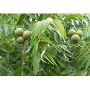 Продается ореховый сад фото