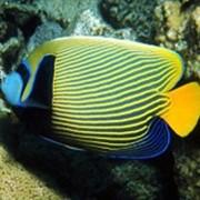 Рыба Ангел Императорский Pomacanthidae фото