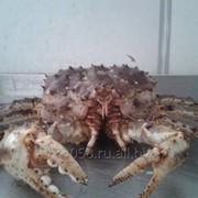 Краб Камчатский живой 2,5-3,5 кг фото