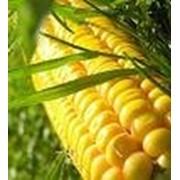 Семена кукурузы на зерно фото