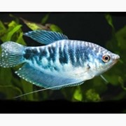 Рыбка гурами мраморный фото