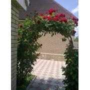 вьющееся сорта роз:абрикосоваябелаябардюркакрасныярозовая. фото
