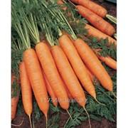 Семена моркови, Бангор F1, производитель: Bejo (упаковка 1000000 сем.) фото