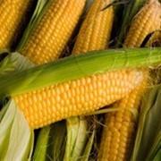 Кукуруза.покупка фото