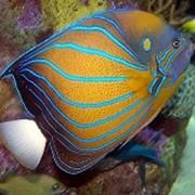 Рыба Ангел Blue Ring фото