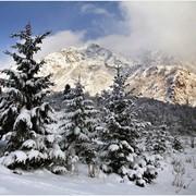 Картина Тянь-Шаньская ель зимой фото