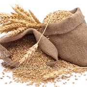 Пшеница в Молдове фото
