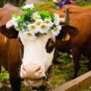 Молоко коровье высший сорт