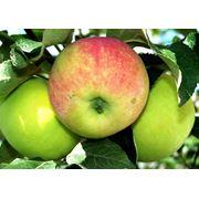 Яблоки осенние в Молдове