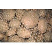 Картофель на экспорт