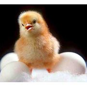 Цыплята суточные фото