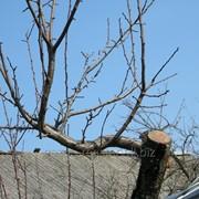 Услуга по обрезке старых плодоносящих деревьев фото