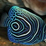 Рыба Ангел Императорский Juvenile Emperor angelfish фото