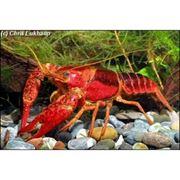 Рак Procambarus Clarkii Red фото