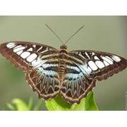 Бабочка Parthenos Sylvia Lilacinus фото