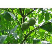 Ореховый сад фото