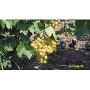 Виноград столовых сортов продаем урожай 2013 фото